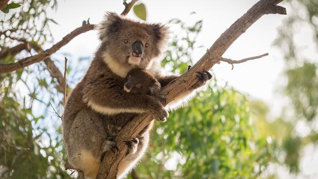 Koala bear is sitting on the tree with its koala baby (photo via moisseyev/iStock/Getty Images Plus)