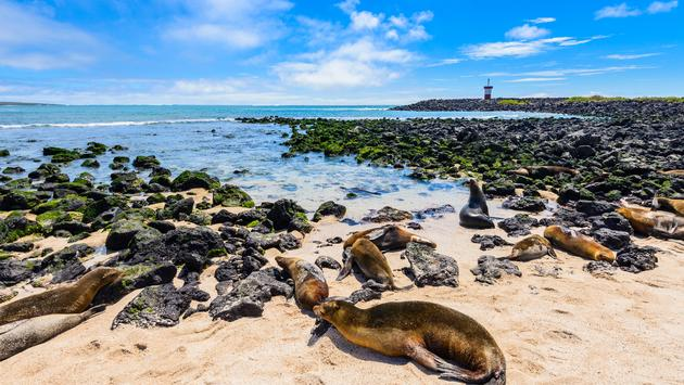 Fur seals at Punta Carola beach, Galapagos islands (Ecuador) (photo via AlbertoLoyo / iStock / Getty Images Plus)