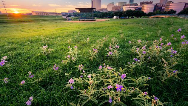 Stunning summer sunrise over a large field containing meadow pink wildflowers fronting downtown Fort Worth, TX (photo via Dean_Fikar / iStock / Getty Images Plus)