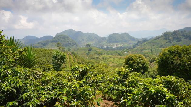 Coffee plantations in the highlands of western Honduras.  (photo via lanabyko/iStock/Getty Images Plus)
