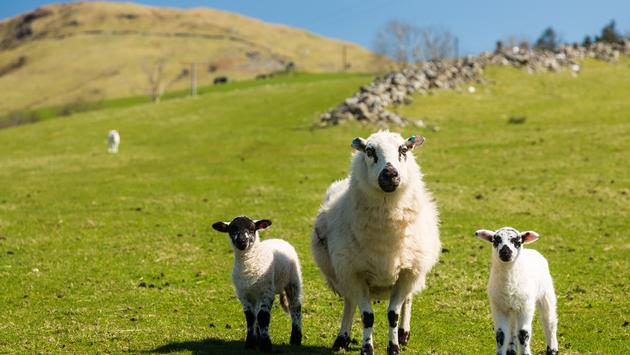 Sheep and lambs in fields and meadows of Welsh hill farm with mountains in the distance (photo via BackyardProduction / iStock / Getty Images Plus)