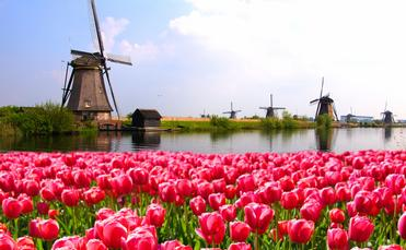 Vibrant pink tulips with Dutch windmills along a canal, Netherlands (photo via jenifoto / iStock / Getty Images Plus)