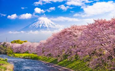 Mt. Fuji, japan, cherry blossoms,