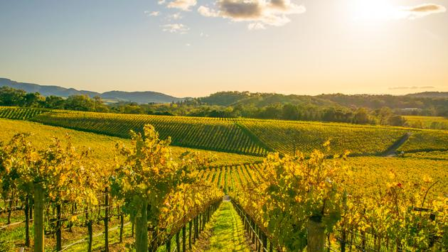 Beautiful fall colors found in a Vineyard in Napa, California. (TraceRouda / iStock / Getty Images Plus)