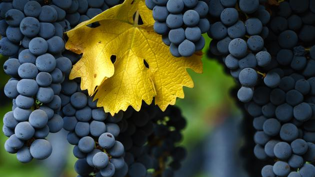 Fall in Napa Valley wine country. Close up of bunches of red wine grapes hanging from the vine, ready for harvest. (KarenWibbs / iStock / Getty Images Plus)
