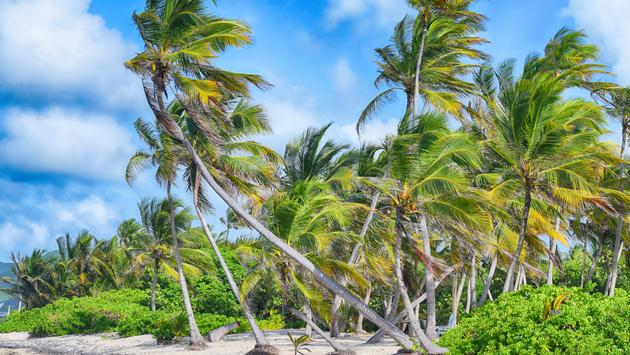 Coconut trees on the beach. Photo taken on the North Shore of the US Virgin Island of Saint Croix, not too far from the beach where Christopher Columbus landed during his second voyage in the Americas in 1493, naming the island Santa Cruz. (photo via kaia