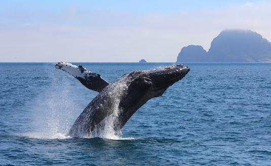 Humpback whale breaching out of the water in Kenai Fjords National Park Alaska summer (photo via sbolce/iStock/Getty Images Plus)