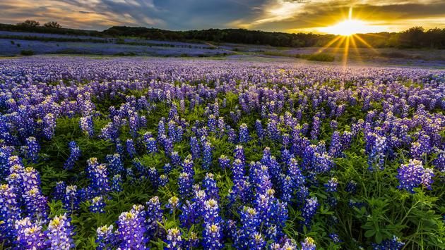 Texas bluebonnet field in sunset at Muleshoe Bend Recreation Area (photo via kanonsky / iStock / Getty Images Plus)
