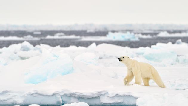 Polar Bear (Ursus maritimus) adult, walkin on melting icefloe, floe edge, Baffin Bay, Nunavut, Canada. (AndreAnita / iStock / Getty Images Plus)