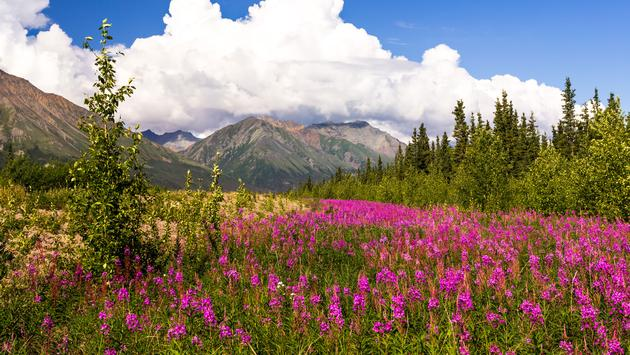 Mountains and wild flowers in summer day. Yukon, Canada (photo via Strekoza2 / iStock / Getty Images Plus)