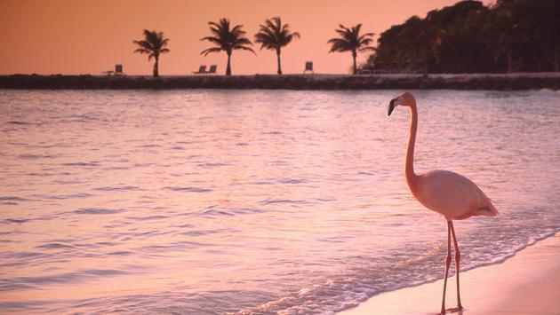 Flamingo on Renaissance Island in Aruba