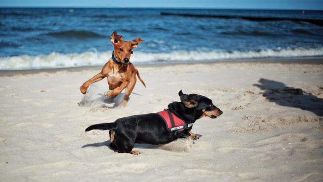 Dogs frolicking on a beach