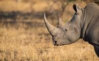 A rhino in the wild