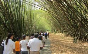 Trinidad bamboo forest