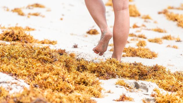 Florida Beaches Dealing With Impact of Sargassum Seaweed