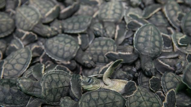 Sea turtles in Mexico