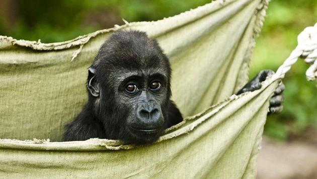 Gorilla Trekking Packages for March 15-18, 2018