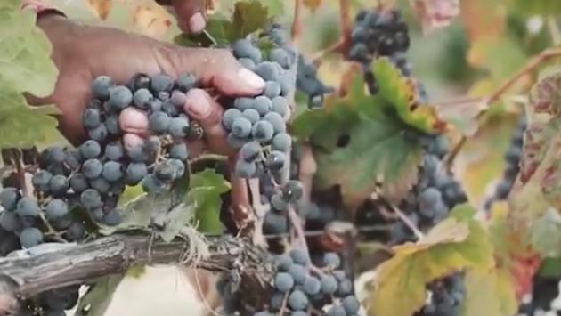 La uva Cabernet-Sauvignon es utilizada para producir el vino tinto ideal para acompañar carnes rojas, pasta o chocolate amargo.