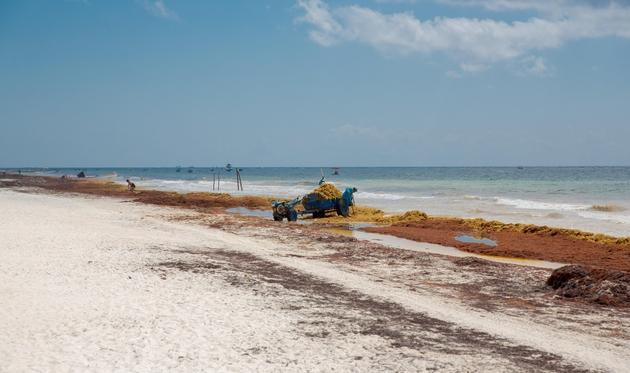 Workers cleaning up sargassum seaweed from a Caribbean beach