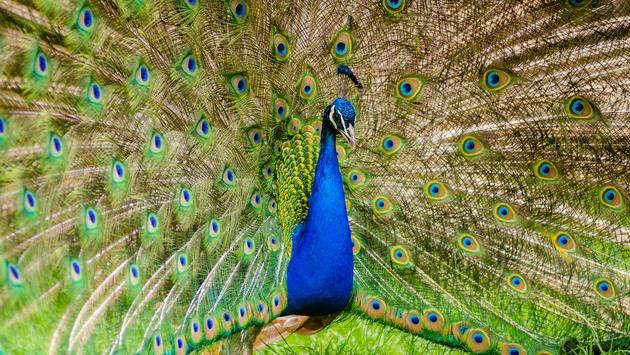 Peacock displaying its plumage