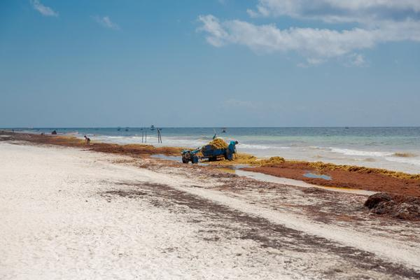 Quintana Roo Proactive Against Its Seaweed Problem | TravelPulse