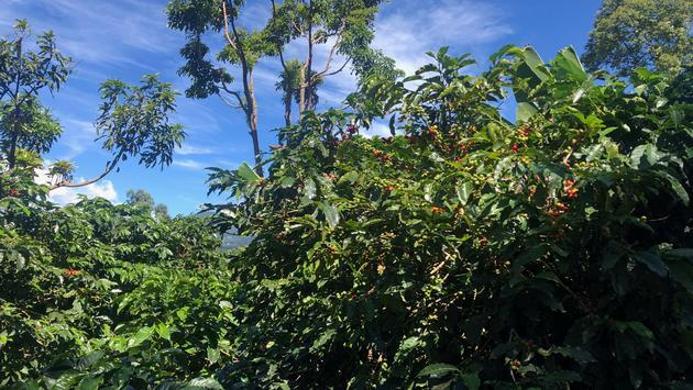 Coffea plant in Costa Rica