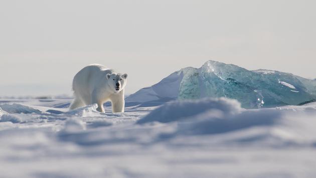 Female polar bear on the sea ice, Svalbard