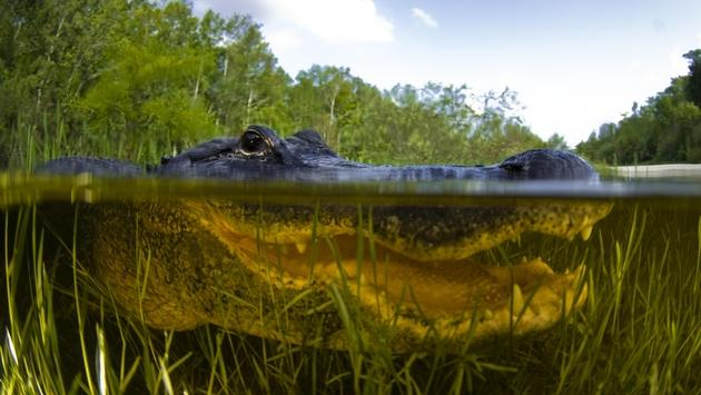 Close-up of an American alligator in Everglades National Park, Florida