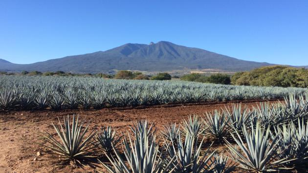Agave Farm in Tequila, Mexico