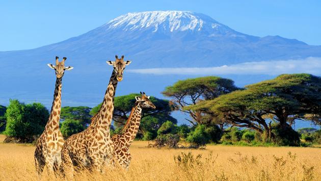 PHOTO: Three giraffe in National park of Kenya (photo via Byrdyak / iStock / Getty Images Plus)