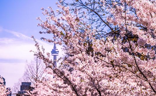 cherry blossoms, toronto