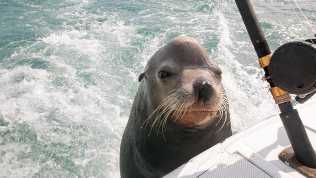 Sea lion begging for fish on the back of a charter boat in the Sea of Cortez near Cabo San Lucas, Mexico