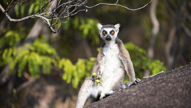 A lemur relaxing in Madagascar