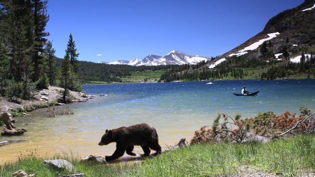 A black bear at Tenaya Lake in Yosemite National Park