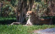 Cheetah, San Diego Zoo
