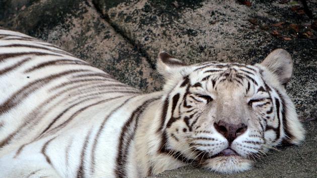 White Tiger, Audubon Zoo, New Orleans