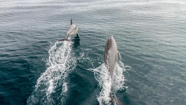Wild dolphins swimming the Bay of Islands, New Zealand