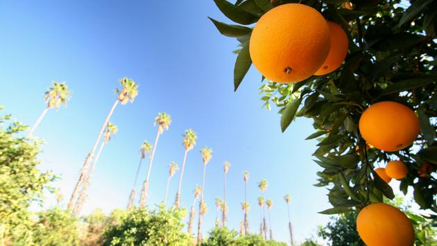 Close of up an orange tree and fruit on a bright day