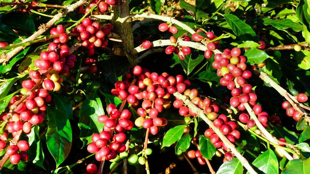 Coffee beans ripen on the vine at a Kona coffee farm.