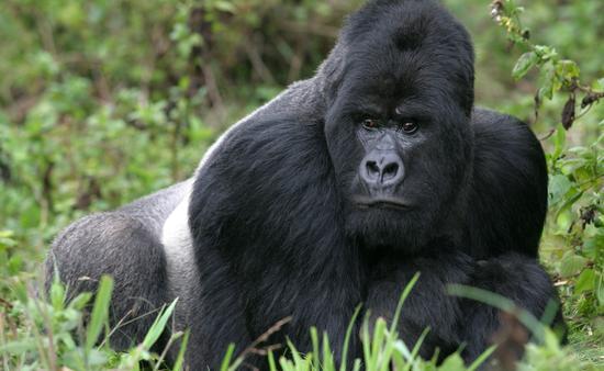 A silverback mountain gorilla in the Rwandan rainforest