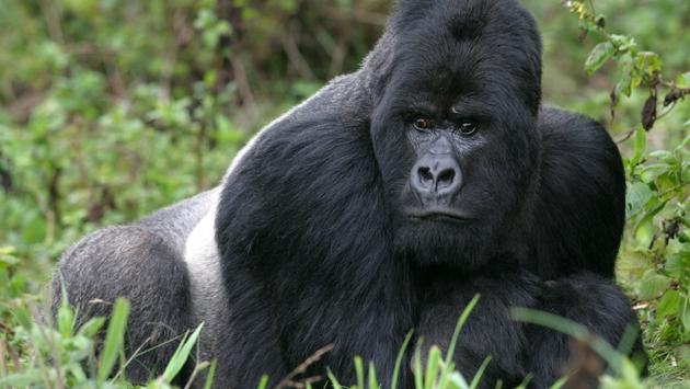 A silverback mountain gorilla in the Rwandan rainforest
