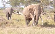 Tim the Tusker, Kenya, Africa
