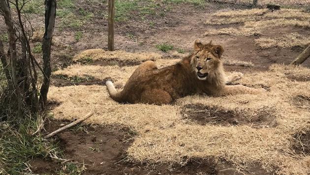 Un des lions transportés.