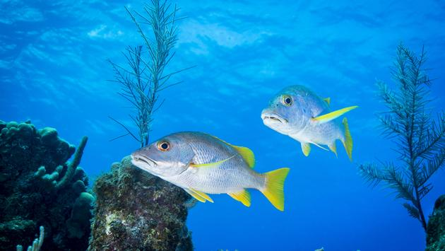 Schoolmaster snapper fish swimming the reefs of Little Cayman in the Cayman Islands