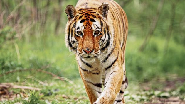 Up close with a Bengal Tiger. (photo courtesy of Tony_Bendele / iStock/ Getty Images Plus)
