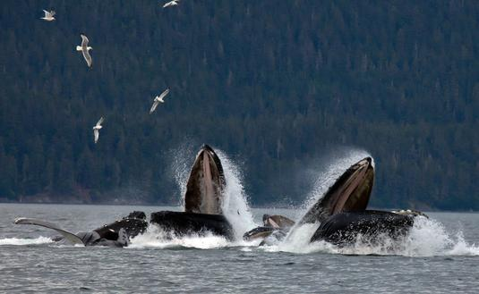Pod of humpback whales off the coast of Juneau, Alaska