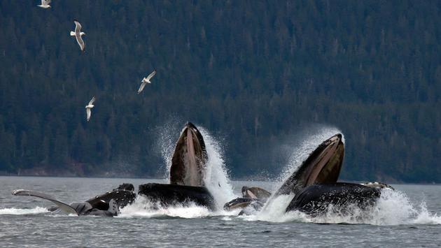 Pod of humpback whales off the coast of Juneau, Alaska