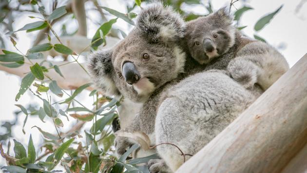 Victoria, Australia, koalas