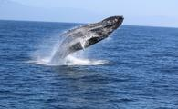 A humpback whale breaching off of Santa Barbara, California