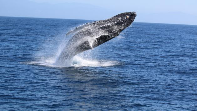 A humpback whale breaching off of Santa Barbara, California